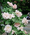 Rosa 'Lady Waterlow'.jpg