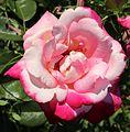 Rosa Circus Knie 01.jpg