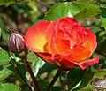 Rosa Rumba 2.jpg