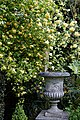 Rosa banksiae 'Lutea', Lady Banks' and garden vase at Myddelton House, Enfield, London.jpg