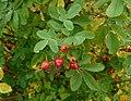 Rosa majalis fruit (06a).jpg