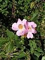 Rosa sp.jpg