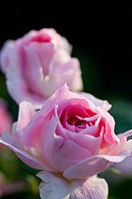 Rose, Carefree Wonder.jpg