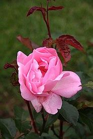 Rose Queen Elizabeth 20070601.jpg