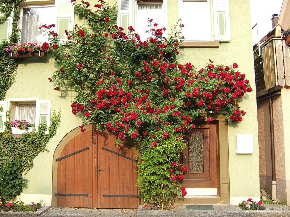 Rose espalier Niedernhall