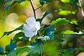 Rose of sharon (20626742153).jpg