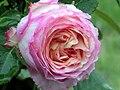 Rose pêche bonbons バラ ペッシュ ボンボン (6979537037).jpg