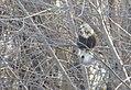 Rough-legged Hawk - CM (31369182484).jpg