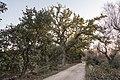 Roverella di Scorrano.jpg