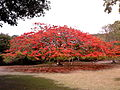 Royal PoincianaDelonix regia.jpg