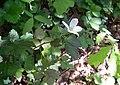 Rubus argutus.jpg
