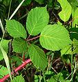 Rubus discolor 1.jpg