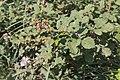 Rubus vestitus-Ronce revêtue-20150616.jpg