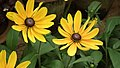Rudbeckia from Lalbagh flower show Aug 2013 8287.JPG