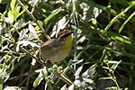 Rufous-capped Warbler 4 - Hunter Canyon.jpg