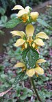 Ruhland, Grenzstr. 3, Goldtaubnessel, Blütentrieb blühend, Frühjahr, 02.jpg