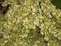 Rumex lunaria (Puntallana) 07.jpg