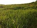 Rumput Kerisan.jpg