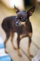 Russian Toy Terrier.jpg