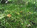 Russula foetens in Tver oblast.JPG