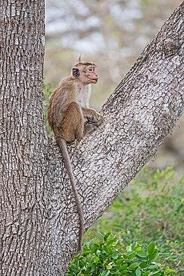 Ceylon-Hutaffe (Macaca sinica)