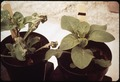 """SMOG-DAMAGED AND """"CLEAN"""" PLANTS SHOWN TOGETHER AT THE STATEWIDE AIR POLLUTION RESEARCH CENTER - NARA - 542692.tif"""