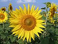 SUNFLOWER,ATMAKUR,A.P - panoramio.jpg
