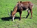 Sable Antelope.jpg