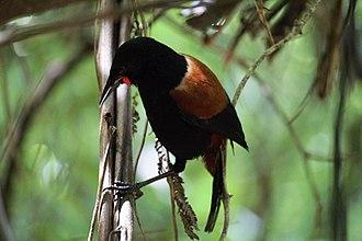 Saddleback (bird) - Image: Saddleback in dead ponga