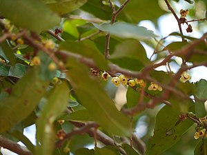 Sageraea laurifolia (8257390982).jpg