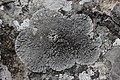 Salève 01.08.2017 Lichen (37093489091).jpg