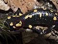 Salamandra salamandra-OhWeh-02.jpg