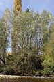 Salix alba 01 by-dpc.jpg