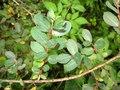 Salix caesia-MW0303087-live-2.tif