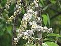 Salix tetrasperma - Indian Willow at Bavali (5).jpg
