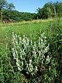 Salvia aethiopis sl14.jpg