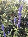Salvia lavanduloides.jpg