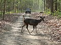 Sambar and gypsy, Dhikala, 4th June 2017, AJT Johnsingh. P1120795.JPG