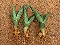 Sansevieria burdettii seedlings.jpg
