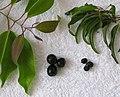 Santalum freycinetianum (4970253632).jpg