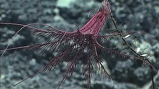 Sarametra triserialis