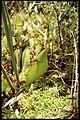 Sarracenia purpurea 4-eheep (5097346519).jpg