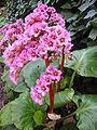 Saxifragaceae Bergenia purpurascens 0.JPG