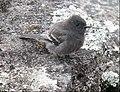 Sayornis nigricans Atrapamoscas cuidapuentes Black Phoebe (41427933884).jpg