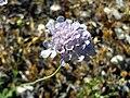 Scabiosa atropurpurea Flowers Closeup SierraNevada.jpg