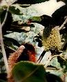 Scaly breasted lorikeet on banksia flowers - panoramio.jpg