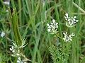 Scandix pecten-veneris flowers and fruits 2.jpg