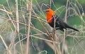 Scarlet-headed Blackbird (Amblyramphus holosericeus) (48292350971).jpg