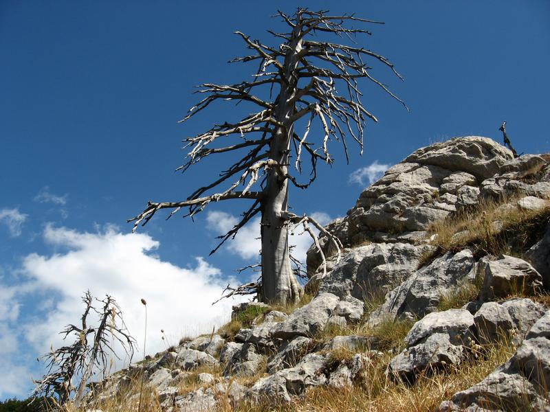 File:Scheletro di Pino loricato (Serra delle Ciavole).png