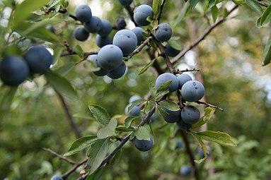 Schlehdorn (Prunus spinosa) Nationalpark Donau-Auen Orth an der Donau 2012 e.jpg
